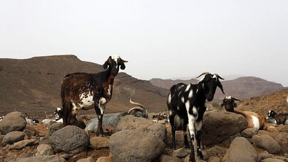 Goats in Gran Canaria. Photo: Hugo Ryvik