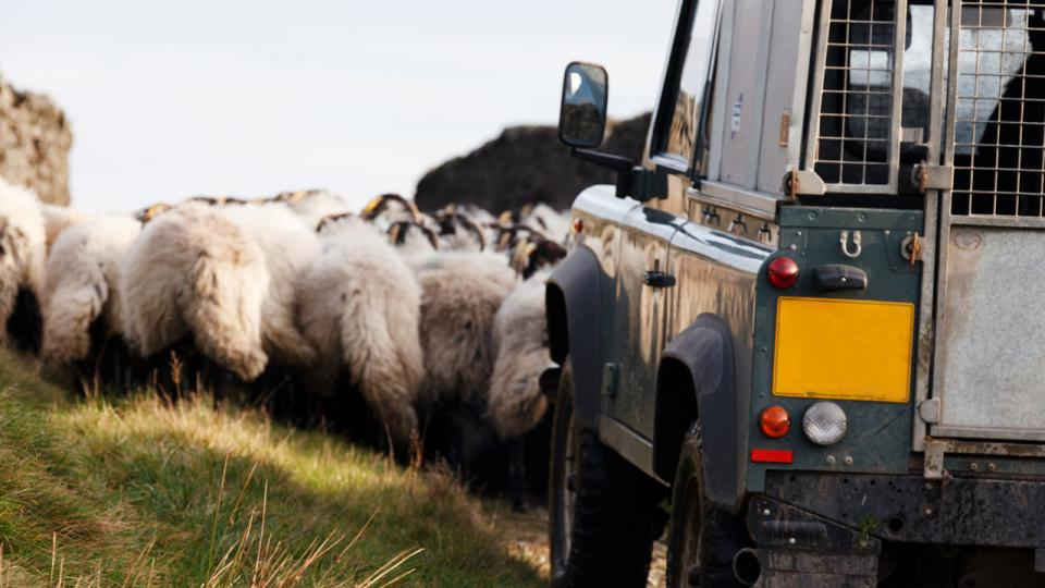 Sheep and a jeep