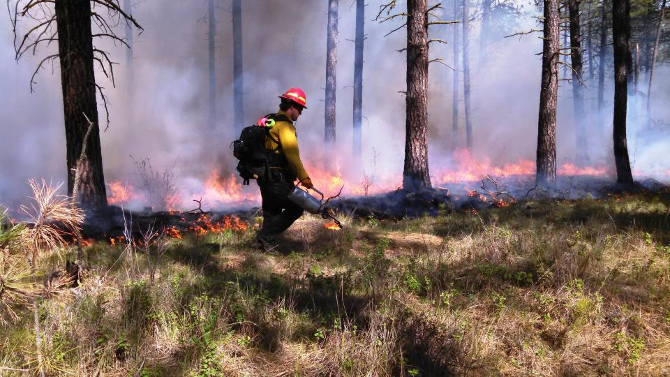 Prescribed fire in ponderosa pine forest in eastern Washington (USA) to restore ecosystem health.