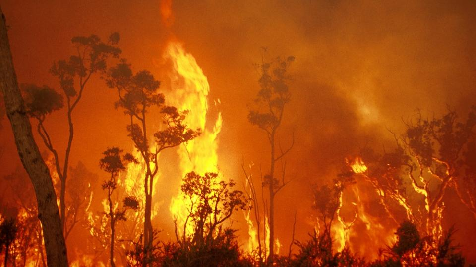 Eucalyptus bush fire